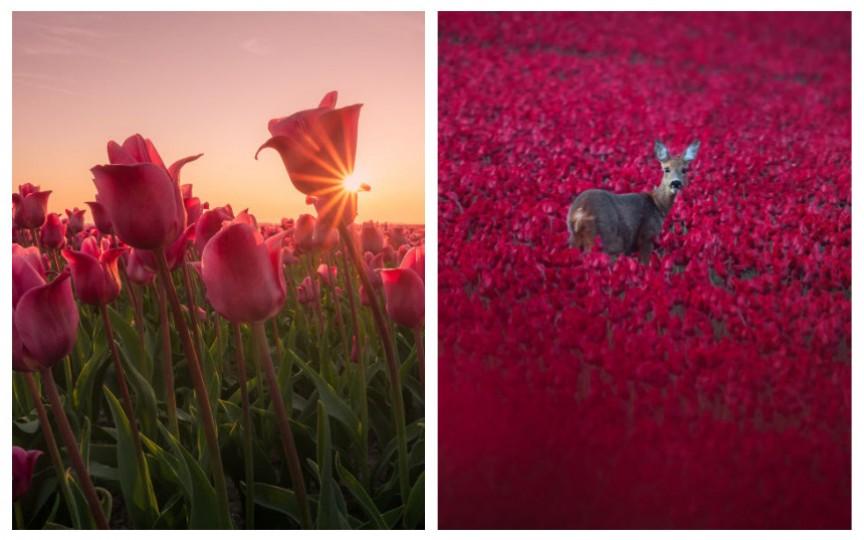 Fotografii cu lalele care vă vor face să vreți să vizitați Olanda