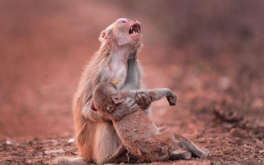 O maimuțică își plânge puiul pe care-l crede mort, lovit de o mașină